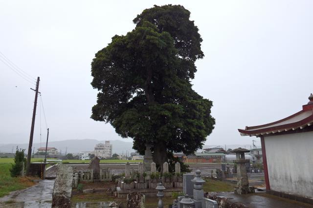 墓地にあるホルトノキの大木