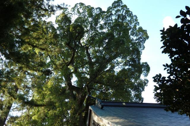 本殿高く聳える巨樹