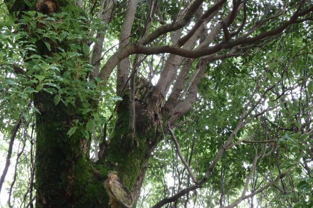 大枝の伐り詰め剪定がされている
