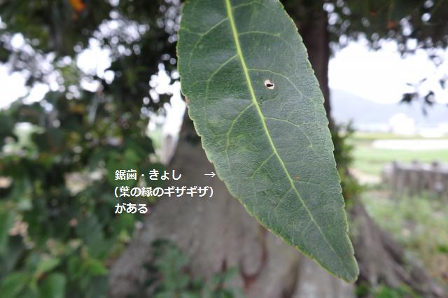 ホルトノキの葉には鋸葉がある