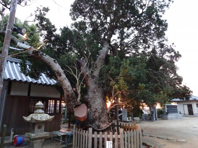 ヤマモモの大木