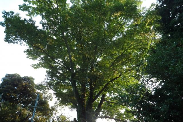 社叢林から頭を突き出して枝葉を茂らせる