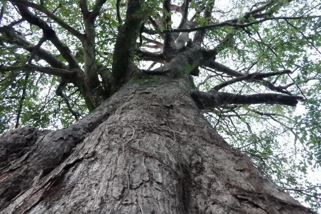 ムクノキの巨木