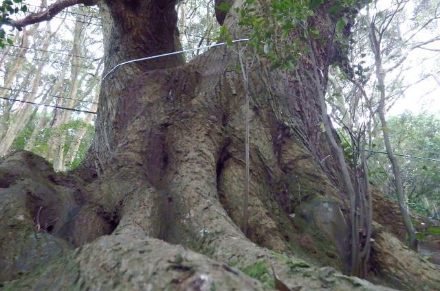 シイノキの巨樹