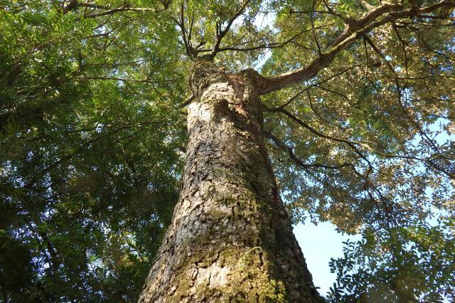 ウラジロガシの巨樹