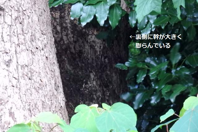 幹が後ろのほうに大きく膨らんでいる!