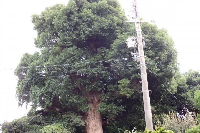 樹冠は大きくはない