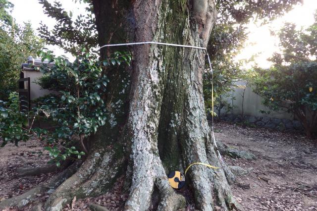 国分寺のシイノキ巨木
