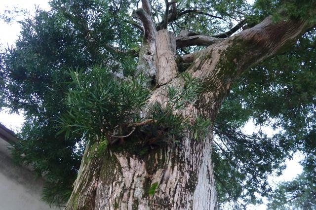 立派なイヌマキの巨木
