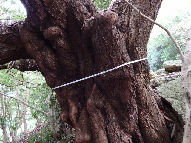 ヤマザクラの巨木
