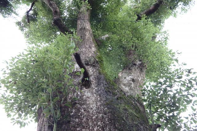 十一大明神で一番の巨樹