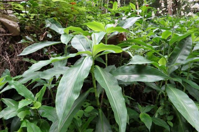 ヤブミョウガの葉