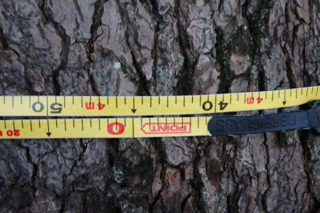 幹周囲4m45センチ