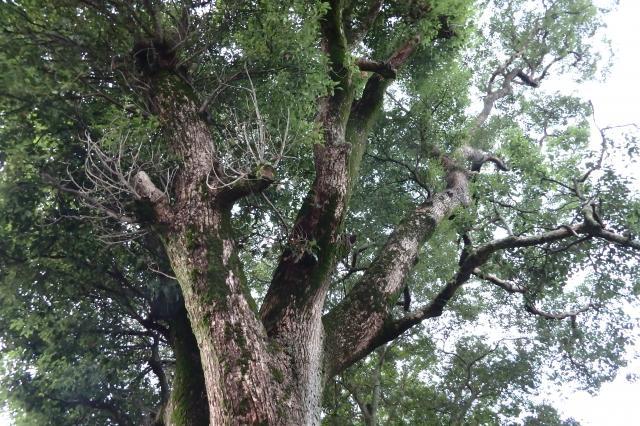 十一大明神で2番目の巨樹