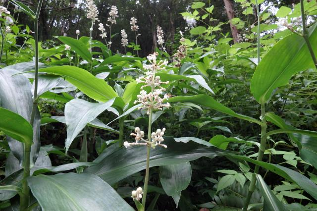 ヤブミョウガの花