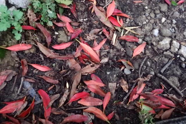 地面に赤い落葉がある