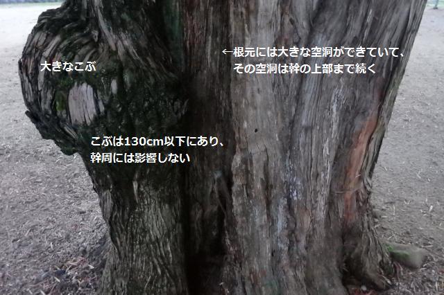 この巨木も腐朽化が進む