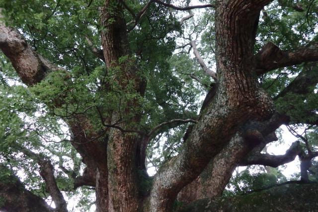 枝それぞれが大木級