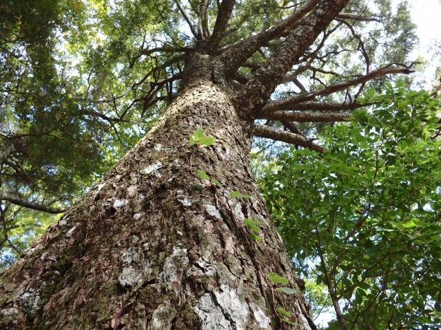 ツガの大木