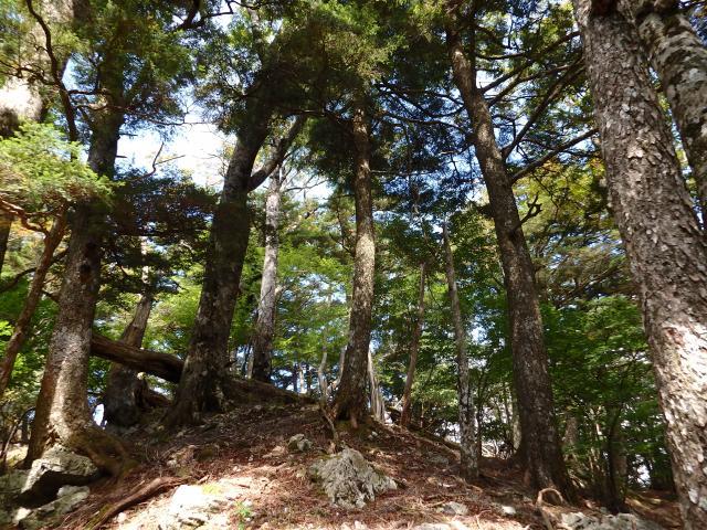 尾根筋のツガ林