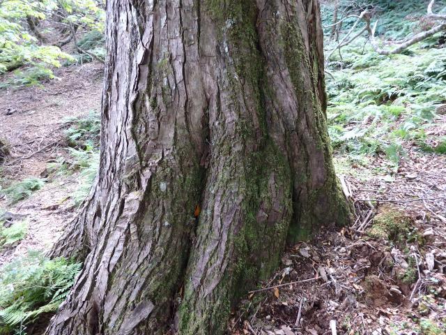 ハリギリの巨樹