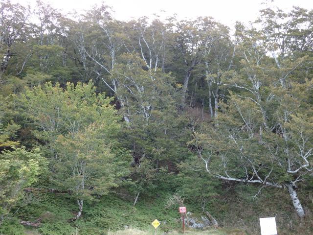 巨樹のないブナ原生林