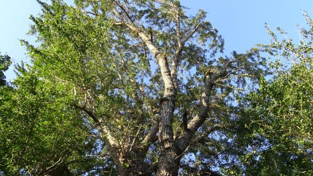 笑原神社のイチョウ巨樹