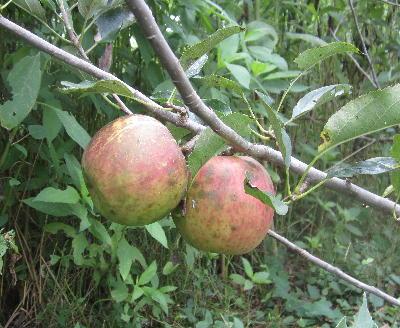 リンゴ初収穫 (3)