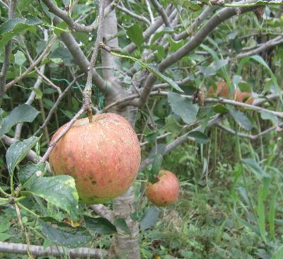 リンゴ初収穫 (2)