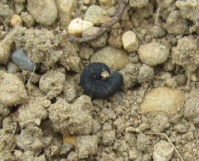 ダイコンの発芽と食害 (2)