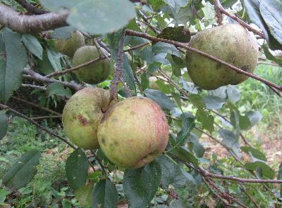 無農薬リンゴ第2弾 (1)