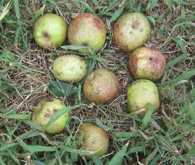 無農薬リンゴ第2弾 (4)