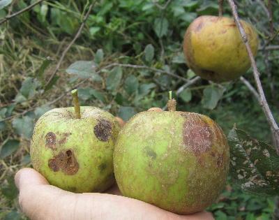 無農薬リンゴ第2弾 (3)