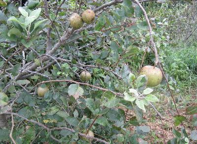 無農薬リンゴ第2弾 (2)