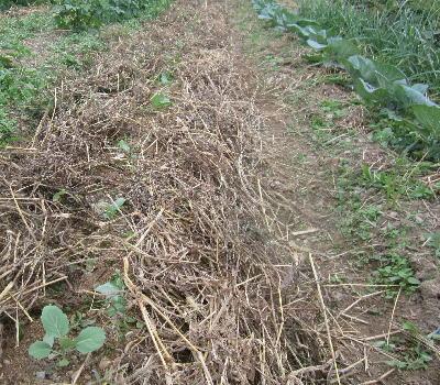 キャベツ苗定植