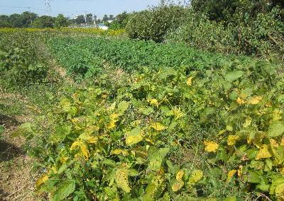 紅葉大豆と秋ジャガ