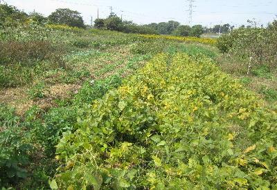 大豆紅葉 (1)