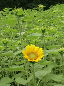 向日葵も開花前