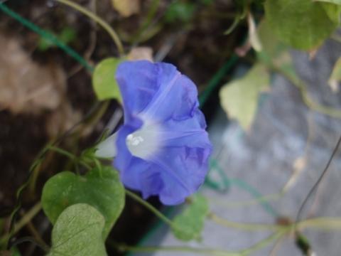 今日もアサガオ咲きました