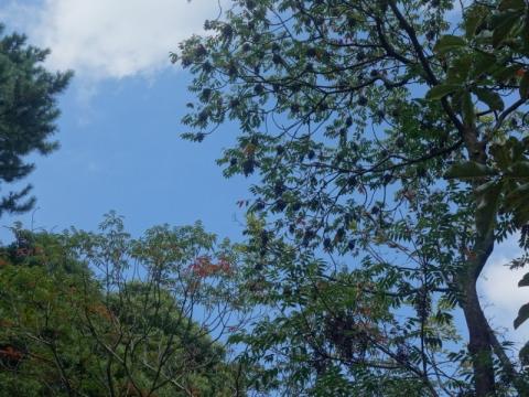 ホトトギスが咲いています