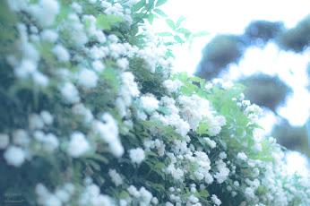 白い淡いお花