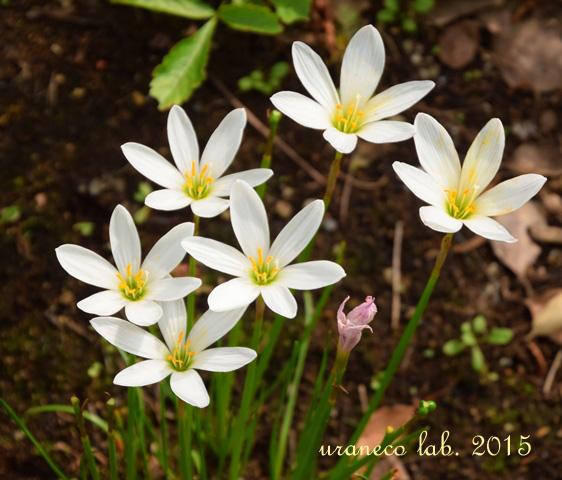 9月8日rain lily3