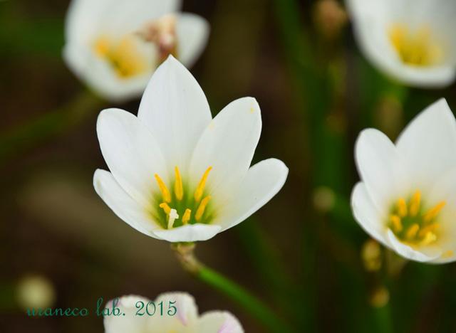 9月8日rain lily2