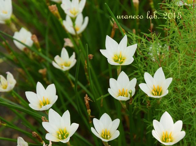 9月8日rain lily