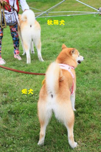 秋田犬と柴犬のプリケツ対決