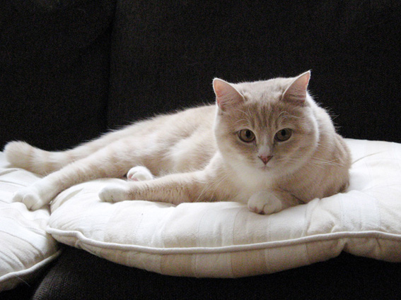 blog用 「愛猫ショコラ」