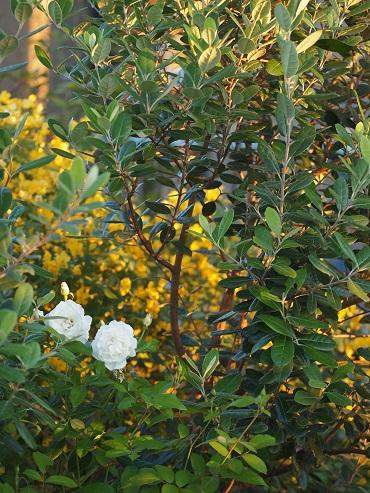 アイスバーグとフェイジョアの木