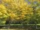 カツラの木の並木