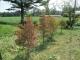 紅葉が始まったドウダンツツジ