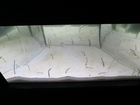 チンアナゴ水槽